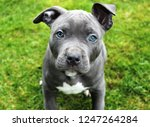 Blue eyed Bluenose Pitbull puppy.