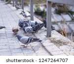 flock of pigeons in nature in a ... | Shutterstock . vector #1247264707