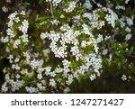 many white flowers on the... | Shutterstock . vector #1247271427