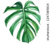 jungle green leaves of monstera ... | Shutterstock . vector #1247385814