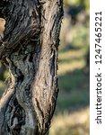 old grapevine in the vineyard   Shutterstock . vector #1247465221