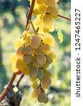 ripe grapes on the vine   Shutterstock . vector #1247465227
