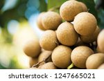 longan orchards   tropical... | Shutterstock . vector #1247665021