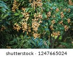 longan orchards   tropical... | Shutterstock . vector #1247665024