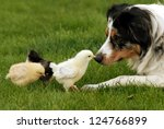 Australian Shepherd And Chick ...