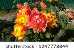 Different Coloured Roses On Th...
