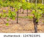 closeup detail of grapevines...   Shutterstock . vector #1247823391