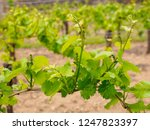 closeup detail of grapevines...   Shutterstock . vector #1247823397
