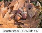 Fallen Leaves And Acorns Of The ...