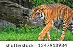 sumatran tiger. nice photo of a ... | Shutterstock . vector #1247913934