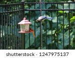 blue jay and northern cardinal... | Shutterstock . vector #1247975137