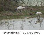 Black headed ibises ...
