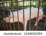 breeder pink pigs on a farm in... | Shutterstock . vector #1248033394