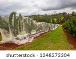 row of cherry trees covered... | Shutterstock . vector #1248273304
