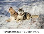 siberian husky sitting in the...   Shutterstock . vector #124844971
