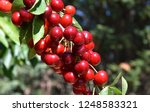 red cherries on cherry tree in... | Shutterstock . vector #1248583321