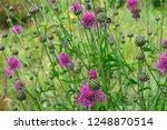 flowering cornflower in summer... | Shutterstock . vector #1248870514