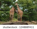 pair of beautiful giraffes... | Shutterstock . vector #1248889411