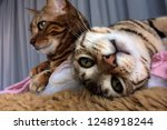 bengal cat  bengal cat looking... | Shutterstock . vector #1248918244