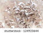 Dry Coastal Reed Cowered With...
