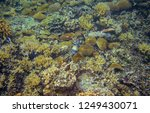 triggerfish in corals. coral...   Shutterstock . vector #1249430071