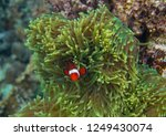 orange clownfish in actinia.... | Shutterstock . vector #1249430074