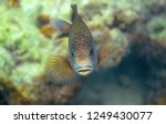 coral fish wrasse closeup....   Shutterstock . vector #1249430077