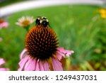Bumblebee Looking For Nectar O...