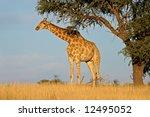 a giraffe  giraffa...   Shutterstock . vector #12495052