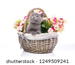 Stock photo scottish straight kitten kitty put his paws on the edge of the basket and looking up cat with 1249509241