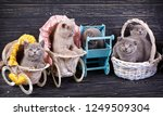 Stock photo scottish straight and scottish fold kittens funny kitten with decorations professional 1249509304