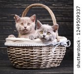 Stock photo scottish straight kittens the cat looks at the camera kitten put his head on the edge of the 1249509337