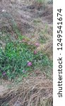 Sweet Pea  Lathyrus Odoratus ...