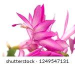 christmas cactus flowers   Shutterstock . vector #1249547131