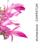 christmas cactus flowers   Shutterstock . vector #1249547134