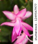 denmark cactus flower   Shutterstock . vector #1249547977