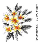 plumeria flower. isolated... | Shutterstock . vector #1249759894
