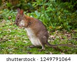 red necked pademelons in the...   Shutterstock . vector #1249791064