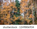 pine trees changing color from... | Shutterstock . vector #1249806934