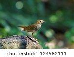 rufous tailed robin | Shutterstock . vector #124982111