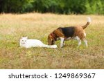 Stock photo dog and cat playing together outdoor in the summer 1249869367