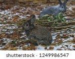 wild rabbit is a species of... | Shutterstock . vector #1249986547
