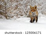 Red Fox Walks Through The Snow