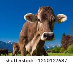 dairy cows on a mountain...   Shutterstock . vector #1250122687
