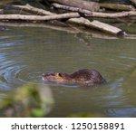 swimming beaver in a german zoo | Shutterstock . vector #1250158891