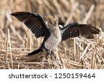 lone immature reed cormorant...   Shutterstock . vector #1250159464