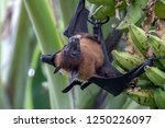 greater indian fruit bats of... | Shutterstock . vector #1250226097