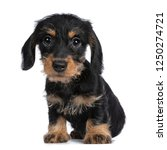 Stock photo super cute mini dachshund wirehaired sitting down looking with big droopy eyes to camera isolated 1250274721