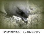 portrait of dovekey  plautus... | Shutterstock . vector #1250282497