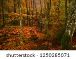 the colorful beech forest... | Shutterstock . vector #1250285071